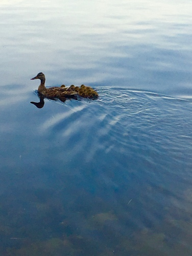Lake Winnipesaukee Ducks