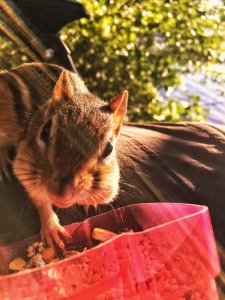 Lake Winnipesaukee Chipmunk